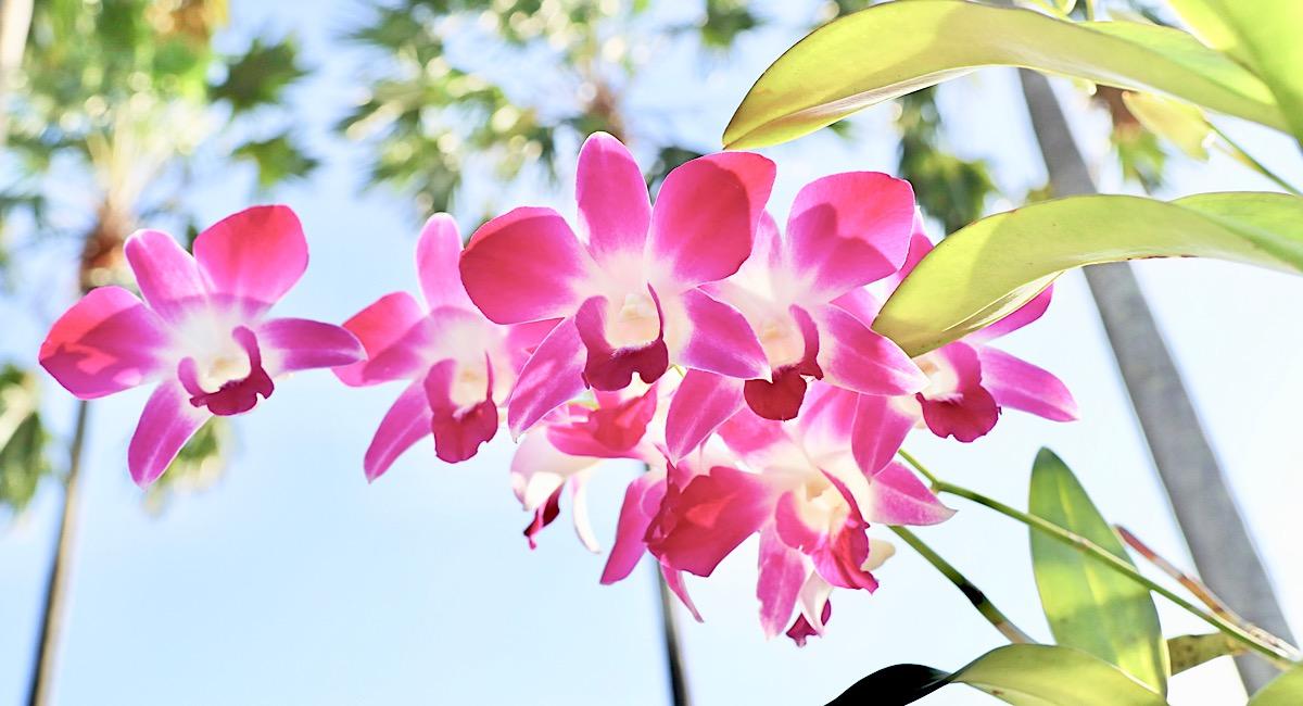 シンガポールの国花オーキッド(Orchids)とはどんな花?どうやって国花になったの?